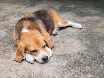 Resting beagle Stock Images