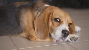 Resting beagle with curious eye Royalty Free Stock Photo