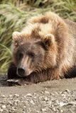 Resting Bear Royalty Free Stock Image