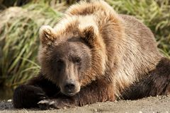 Resting Bear #2 Royalty Free Stock Image