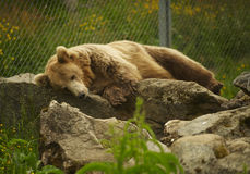 Resting bear. Brown bear resting in a rock at Arctic Zoo, Norway Royalty Free Stock Photos