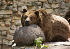 Resting bear Stock Photography