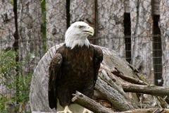 Resting beautiful bald eagle royalty free stock photo