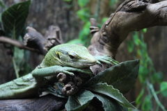Resting lizard Royalty Free Stock Images