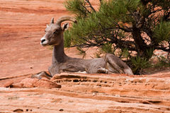 Resting Big Horn Sheep Royalty Free Stock Photo