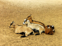 Resting Billy Goat's Stock Image