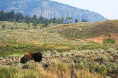 Resting Bison Royalty Free Stock Photo