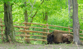Resting bison. A bison is resting in Hateg Reservation, Romania Royalty Free Stock Photography