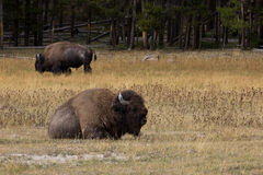 Resting Bison. In Yellowstone National Park Royalty Free Stock Photography