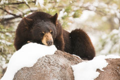 Resting Black Bear Stock Photos