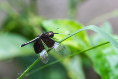Resting black dragonfly Stock Image