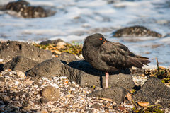 Resting black oystercatcher. Detail of resting black oystercatcher royalty free stock photo