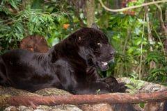Resting Black Panther. A large male black panther or jaguar rests on a wood platform in the jungle in Belize Stock Image