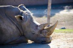Resting black rhino Royalty Free Stock Photography