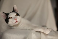 Resting  black and white cat. Resting black and white cat on a blanket Royalty Free Stock Images