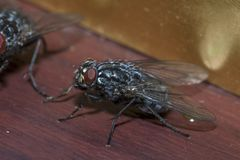 Resting Blue Bottle. A Blue Bottle Calliphora vomitoria is seen resting on some fake wood Royalty Free Stock Photography