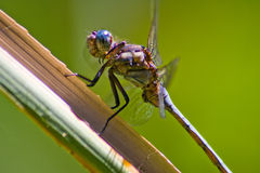 Resting blue dragonfly. A macro image of a dragon fly resting on a plant leaf while defending its territory Stock Photo