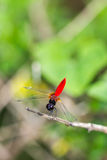 Resting blue dragonfly Royalty Free Stock Image