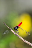 Resting blue dragonfly Stock Photo