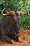 Resting. Blue Wildebeest bull resting in road in Pilanesberg Nature Reserve Royalty Free Stock Photography
