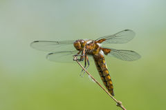 Resting Broad-bodied chaser. Broad bodied chaser or darter dragonfly on a dry on a dry stem with calm blurred background Royalty Free Stock Photography