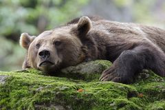 Resting brown bear Royalty Free Stock Images