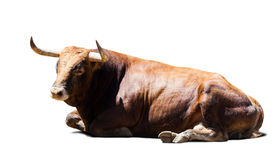 Resting brown bull over white Stock Photo