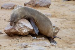 Resting Brown fur seal Arctocephalus pusillu Royalty Free Stock Photo