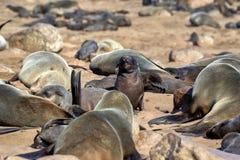 Resting brown fur seal, Arctocephalus pusillus, Cape cross, Namibia. One Resting brown fur seal, Arctocephalus pusillus, Cape cross, Namibia royalty free stock photo