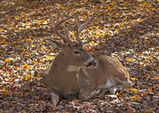 Resting Buck. Landscape portrait of 5-point white-tailed male deer resting on ground surrounded by colorful autumn leaves royalty free stock image