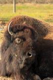 Resting Buffalo Stock Image