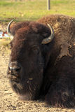 Resting Buffalo Royalty Free Stock Images