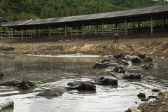 Resting buffaloes Royalty Free Stock Image