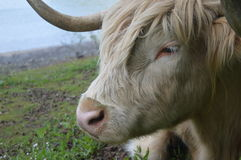 The resting Bull Royalty Free Stock Images