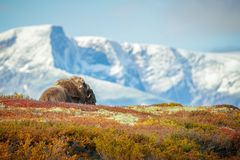 Resting Bull Musk Ox Royalty Free Stock Images