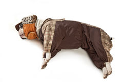 Resting bulldog  in clothes Royalty Free Stock Image