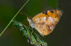 Resting butterfly Stock Images