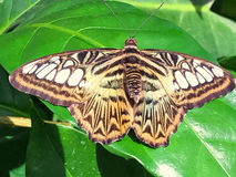 Resting Butterfly. This butterfly is resting on a green leaf Royalty Free Stock Images