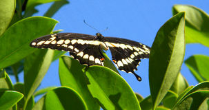 Resting Butterfly Royalty Free Stock Image