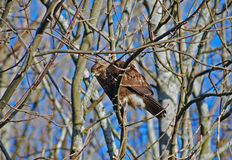 Common buzzard resting Stock Images