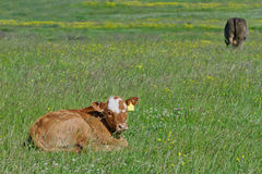 Resting Calf Royalty Free Stock Photography
