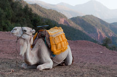 Resting Camel. Marrakech - Morocco : Resting Camel Waiting For Tourists In The Atlas Mountains Stock Image