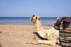 Resting camel. On the beach of the Red Sea Royalty Free Stock Photography