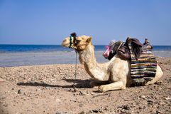 Resting camel Royalty Free Stock Photography