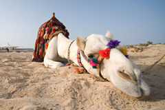 Resting camel on beach in Egypt, close up Royalty Free Stock Images