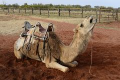 Resting Camel in Outback Australia. Stock Image