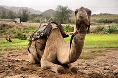 Resting camel Royalty Free Stock Photo