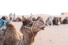 Resting camels Stock Photo