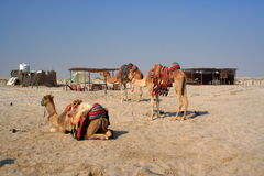 Resting camels. Camels resting on the sand in Qatar Stock Image