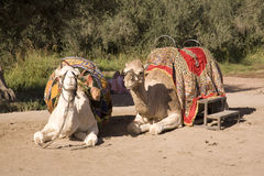 Resting camels. Two camels resting on the dirt Stock Photos